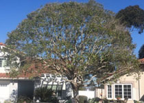 Front Yard Tree Pruning