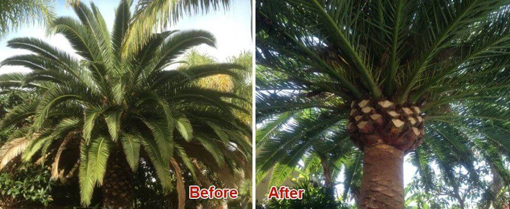 Palm Tree Trimming San Diego