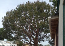 Tree Crown Reduction, Raising Clairemont