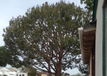 Tree Crown Cleaning El Cajon