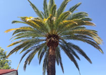 Palm Tree Thinning Services