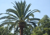Palm Tree Maintenance Carmel Valley