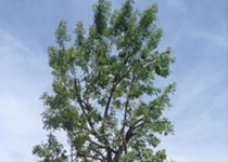 Affordable Tree Pruning Scripps Ranch